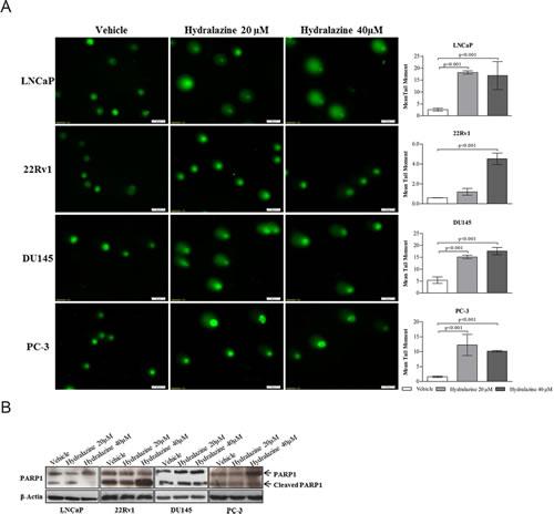 Hydralazine effect on DNA damage.