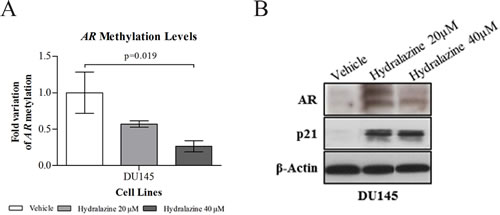 Reactivation of androgen receptor (AR) expression upon exposure to hydralazine.