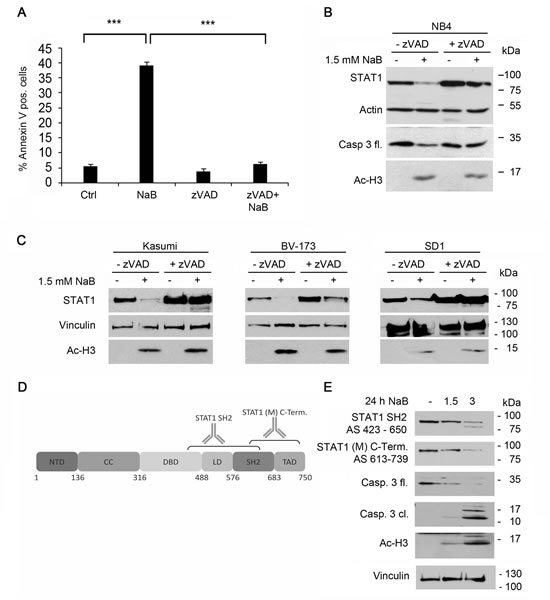 Decrease of STAT1 can be blocked by caspase inhibitors but not by protease- or proteasomal inhibitors.
