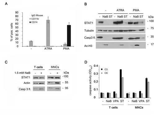 STAT1 degradation occurs exclusively in leukemia cells.