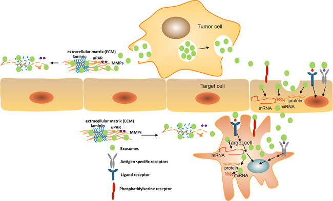 Exosomes mediate target cell reprogramming and alter cancer microenvironment.