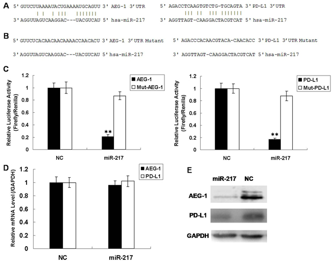 miR-217 directly regulates AEG-1 and PD-L1 in Hep2 cells.