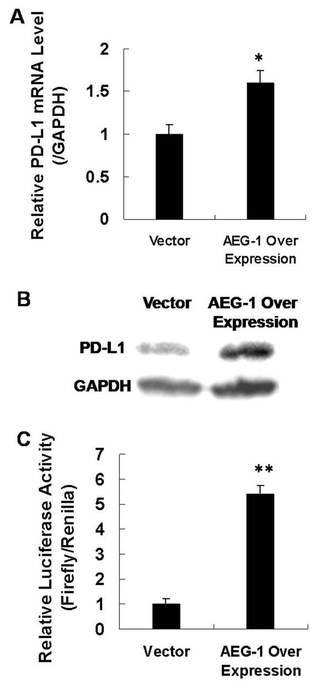 AEG-1 activates downstream PD-L1.