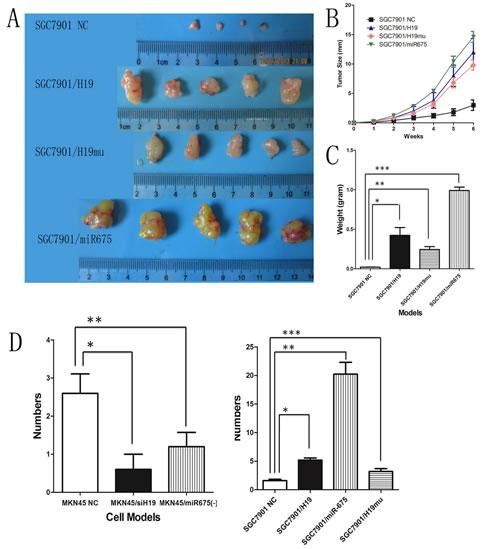 Fig4: H19 or miR-675 enhances tumor growth and metastasis in vivo.