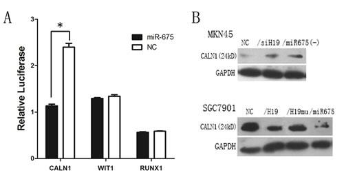 Fig6: miR-675 targets CALN1 expression.