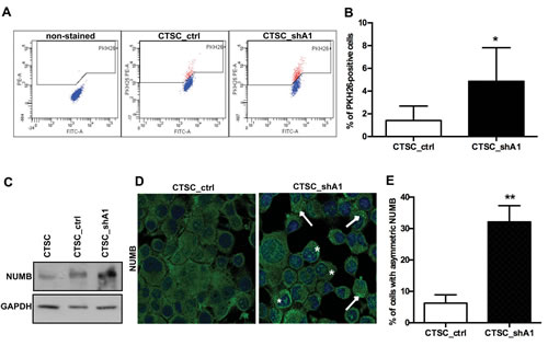 HMGA1 knockdown induces stem cell quiescence and asymmetric Numb distribution.