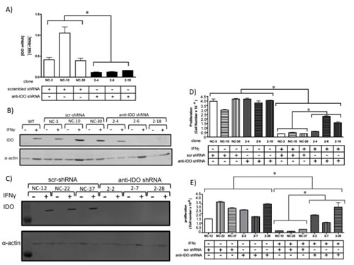 (A) IDO mRNA levels in A549 clonal cell populations 24 h after addition of IFN gamma to induce IDO.