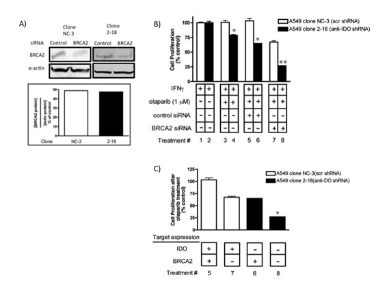 Concurrent downregulation of IDO and BRCA2 sensitized tumor cells to olaparib to a greater degree than knockdown of either target alone.