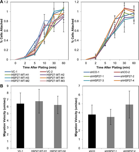 HSP27 does not affect cell adhesion nor cell migration.