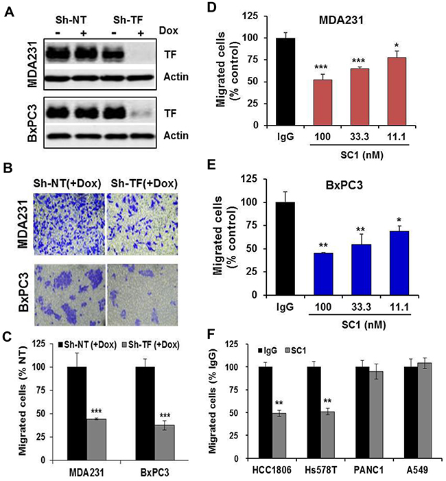 SC1 inhibits TF-dependent tumor cell migration.