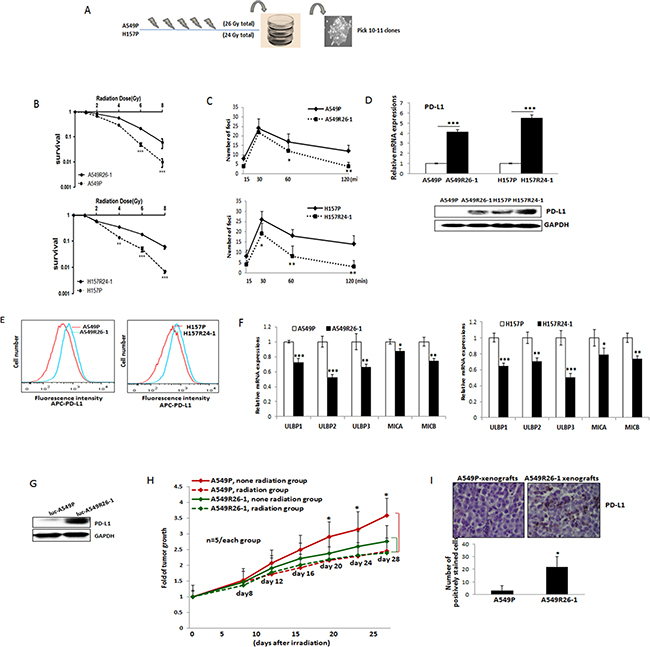 PD-L1/NKG2D ligand levels in radioresistant NSCLC sub-line cells and radioresistant cell-derived tumors (compared to parental cells and parental cell-derived tumors).