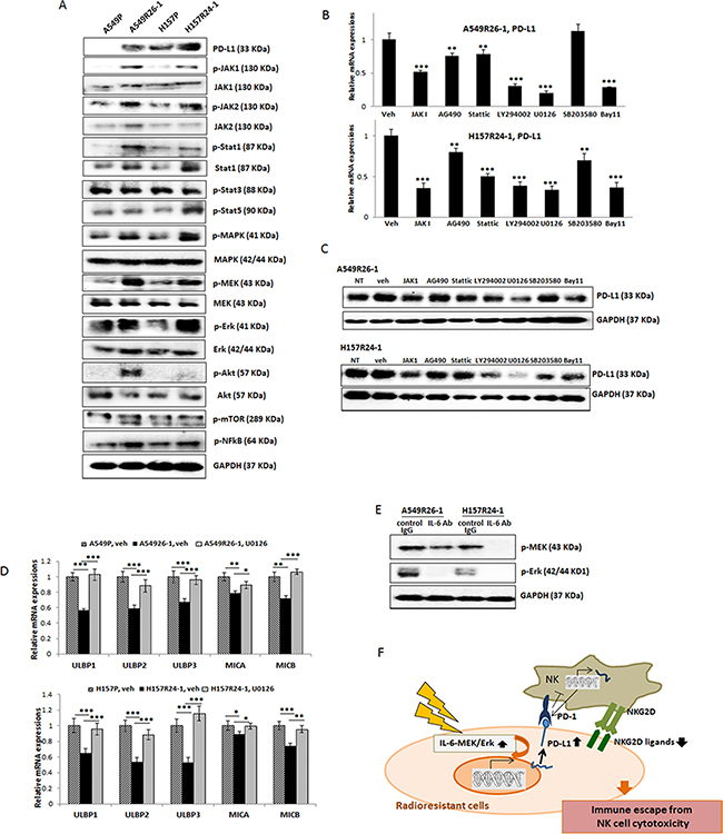 Revealing signaling pathways that are responsible for the PD-L1 level increase/NKG2D ligand level decrease in A549R26-1 and H157R24-1 cells.