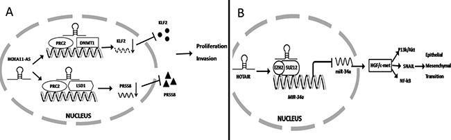 lncRNA regulates gene expression at the transcriptional level.