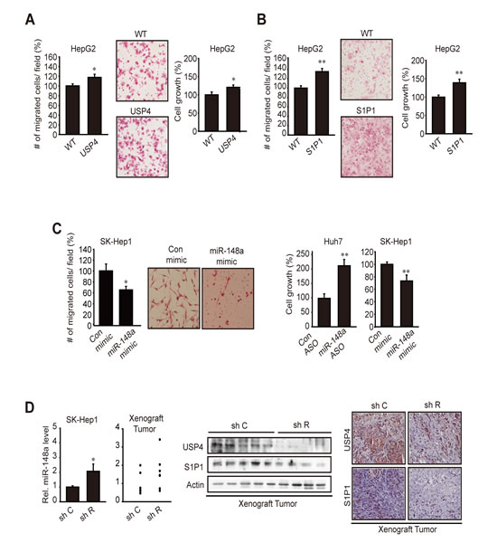 The effect of USP4 or S1P1 overexpression on tumor cell migration and growth.