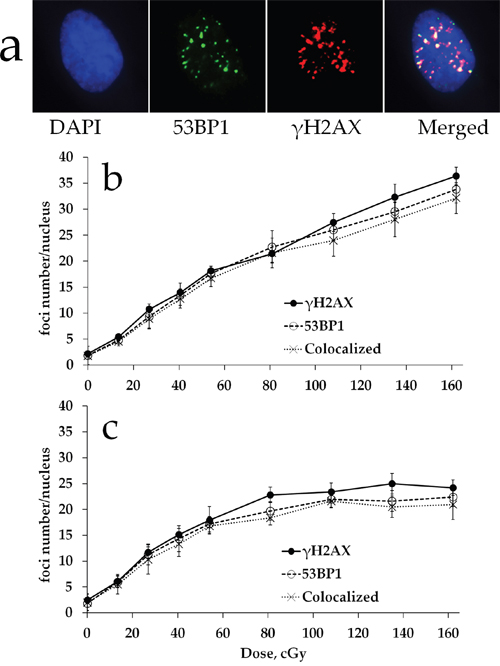 γH2AX and 53BP1 foci formation in MSCs exposed to either acute or prolonged X-ray irradiation.