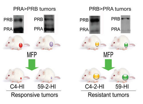 Tumors from the MPA-induced breast cancer model used in this study.