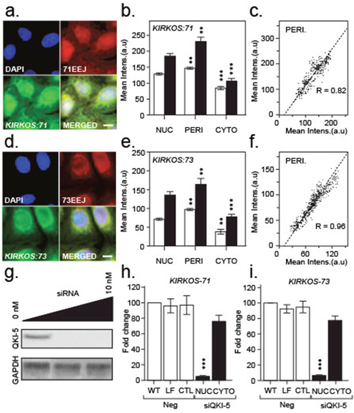 Intracellular localisation of KIRKOS-71 and KIRKOS-73 circRNAs with QK-5 depletion eliminating their nuclear presence.