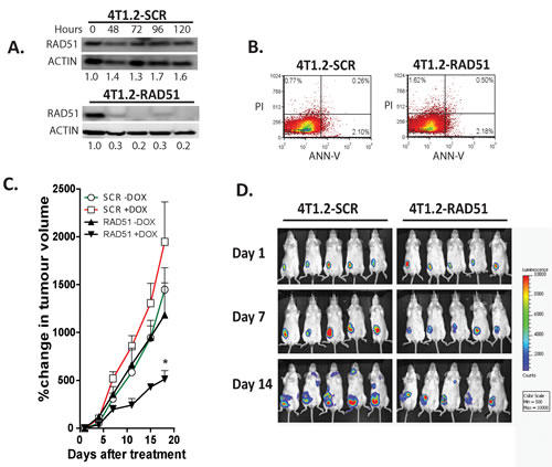 Depletion of RAD51 inhibits tumor growth and metastatic progression in a syngeneic murine breast cancer model.