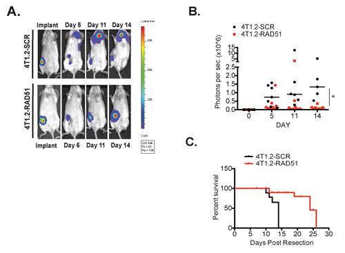 RAD51 supports metastatic burden in vivo.