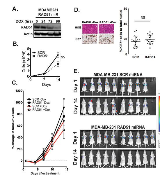 Depletion of RAD51 inhibits metastatic seeding of the lungs in-vivo.