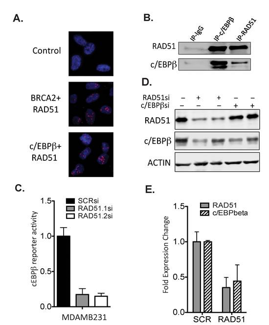 RAD51 forms a complex with the transcription factor c/EBPβ.