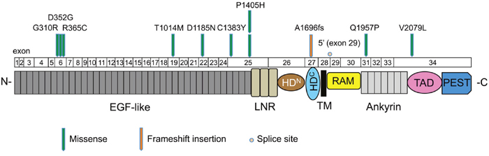Mutation distribution in the exons and functional domains of NOTCH1.