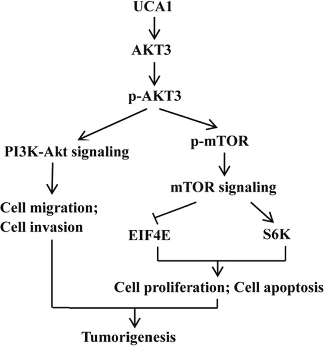 Diagram depicting the regulation mechanism of UCA1 in the tumorigenesis of gastric cancer.