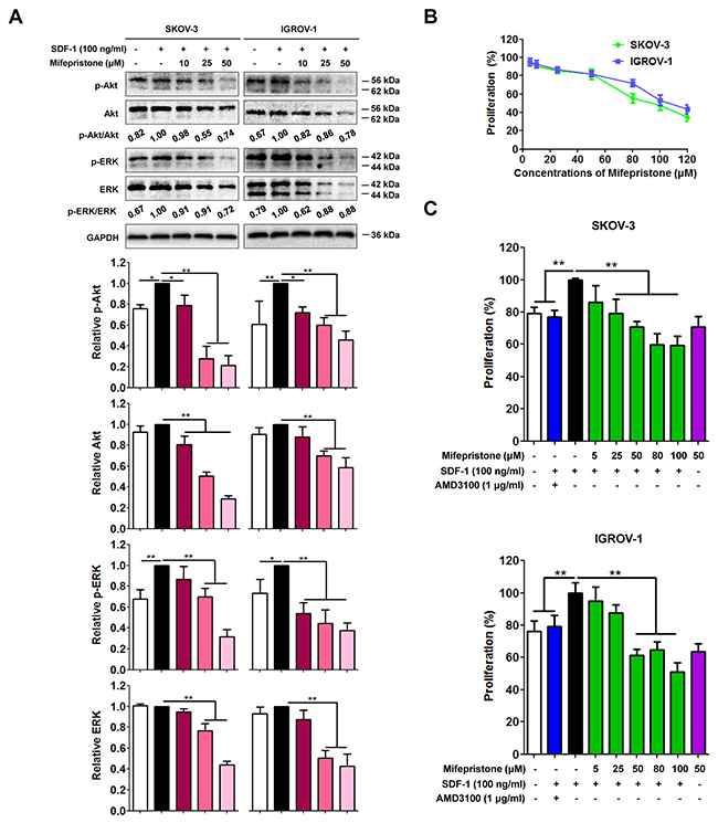 Mifepristone inhibits the SDF-1/CXCR4-mediated downstream cell signaling and cell proliferation in SKOV-3 and IGROV-1 cells.
