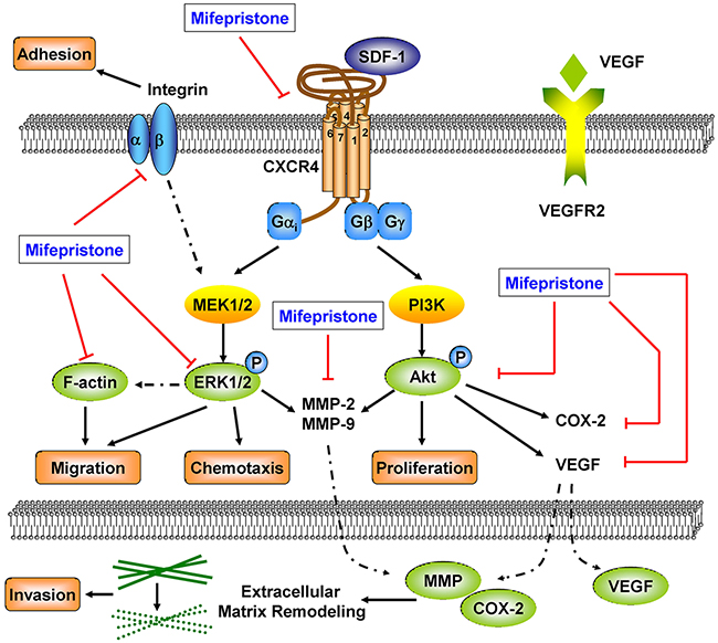 The underlying mechanisms involved in the suppression of caner metastasis by mifepristone.