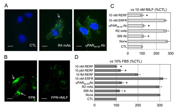 Inhibition of SKOV-3 cell migration by anti-uPAR