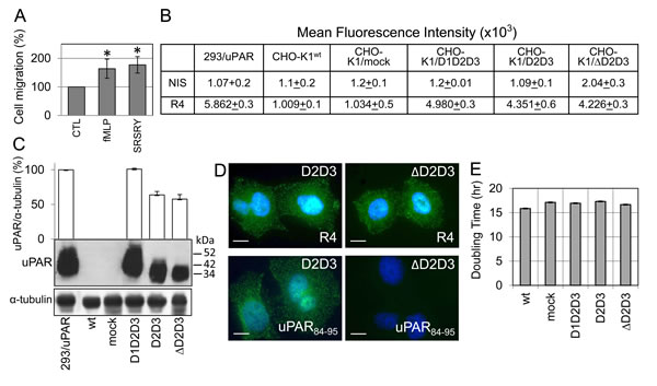 Generation of CHO-K1 ovarian stable transfectants either lacking or expressing the uPAR