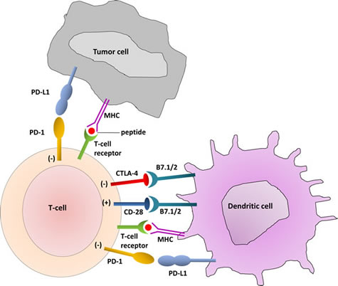 T-Cell Interaction with dendritic cells and tumor cells.