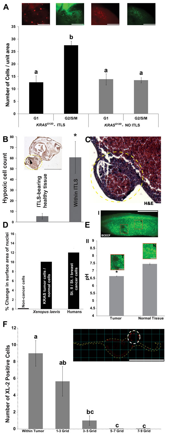 Induced tumor-like structures (ITLS) exhibit characteristics reminiscent of human tumors.