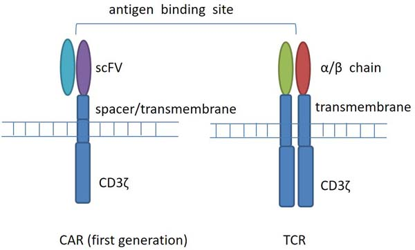 T-cell receptor (TCR) and chimeric antigen receptor (CAR) structure.