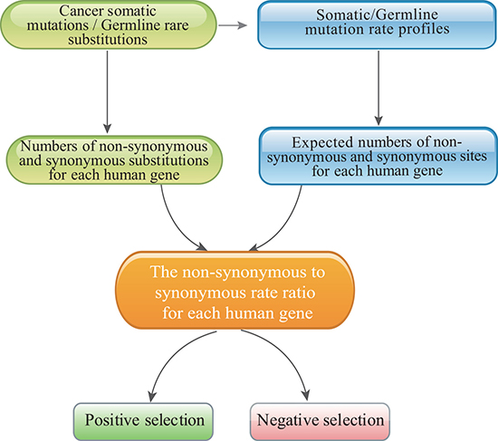 The pipeline used to identify positively and negatively selected cancer genes with the mutation-profile-based method.