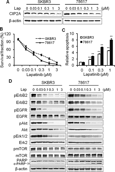 Lapatinib-induced CIP2A downregulation is correlated with growth inhibition, apoptosis induction, and RTK signaling inactivation.