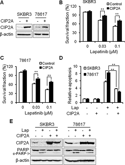 CIP2A overexpression renders SKBR3 and 78617 breast cancer cells resistant to lapatinib.
