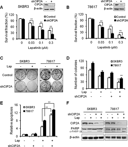 CIP2A knockdown enhances SKBR3 and 78617 cell sensitivity to lapatinib.