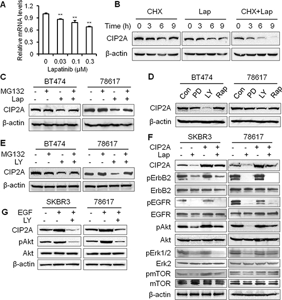 Lapatinib induces CIP2A degradation in an Akt-dependent manner through the proteasomal pathway.