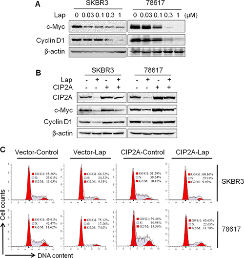 CIP2A/c-Myc pathway is involved in lapatinib-induced cell cycle regulation.