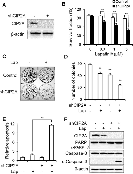 CIP2A knockdown can overcome lapatinib resistance in BT474/LR cells.