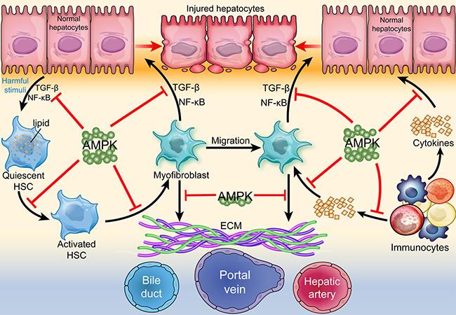 Regulation of AMPK in hepatic fibrogenesis.