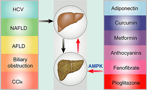 Risk factors and potential targets via AMPK throughout hepatic fibrosis.