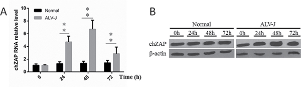 Endogenous chZAP expression was induced by infection of ALV-J.
