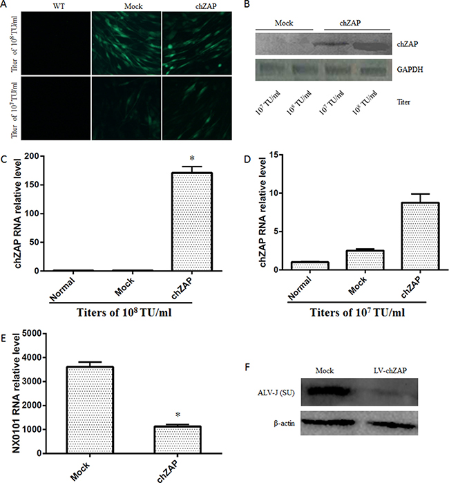 Overexpression of chZAP suppressed ALV-J replication.
