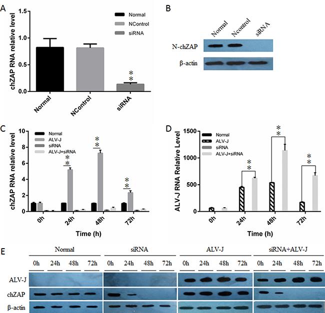 Knockdown of endogenous chZAP facilitated ALV-J replication.
