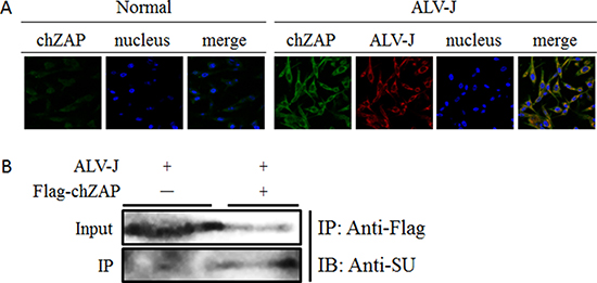 chZAP interacted with SU of ALV-J in cytoplasm.