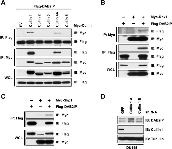 DAB2IP stability is controlled by Cullin-Ring mediated degradation.