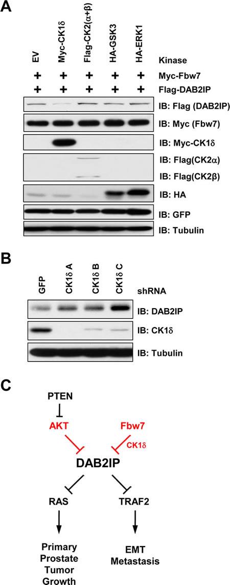 CK1δ regulates phosphorylation of the DAB2IP degron motif.