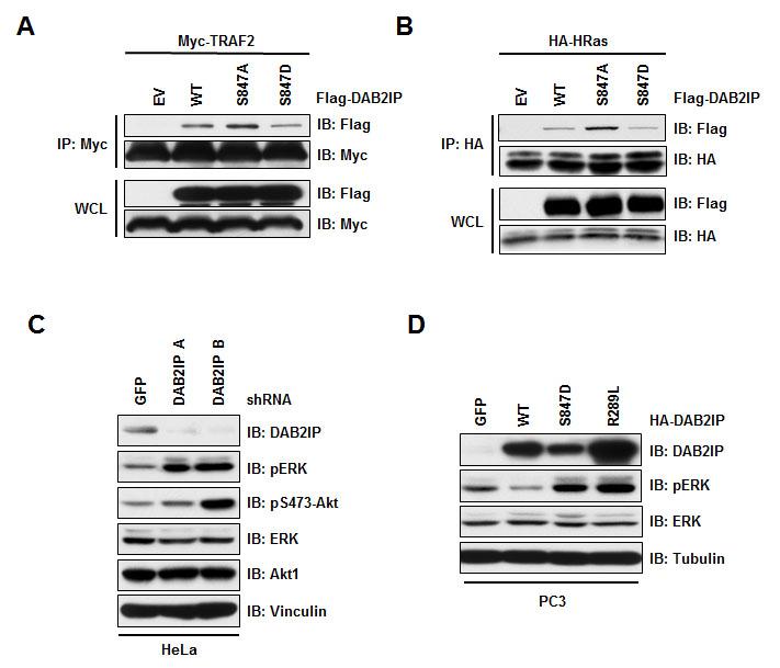 Phosphorylation at S847 controls DAB2IP function.
